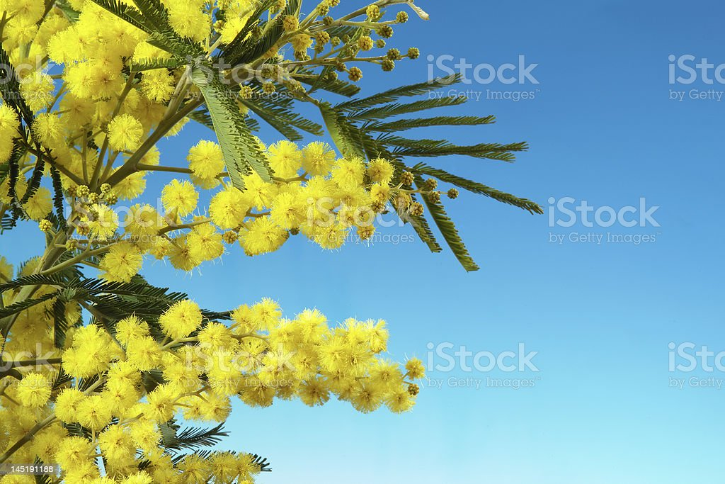 mimosa flowers royalty-free stock photo