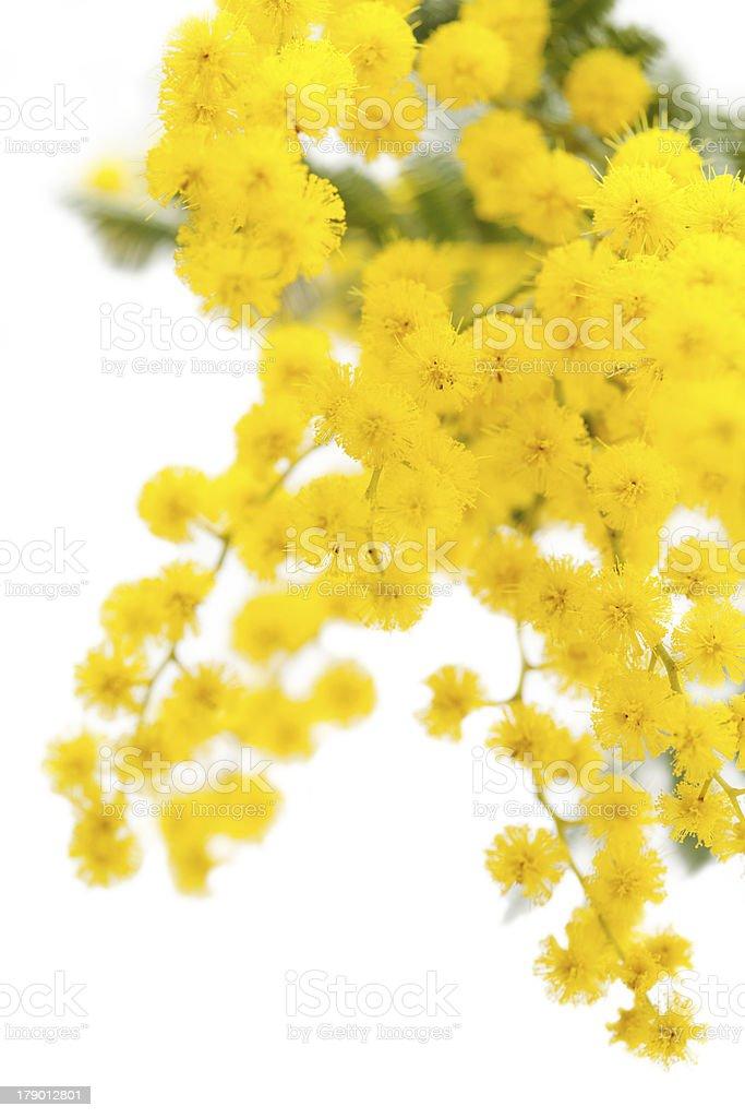 Flores de Mimosa foto royalty-free