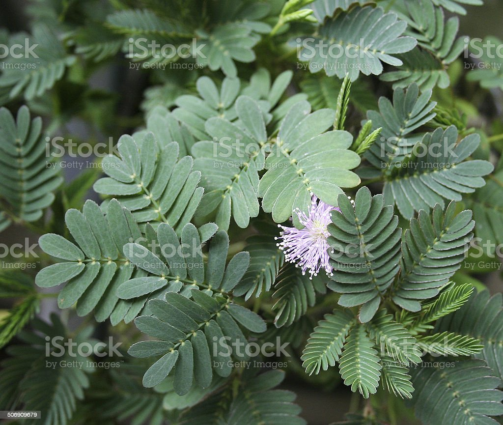 Mimosa in bloom stock photo
