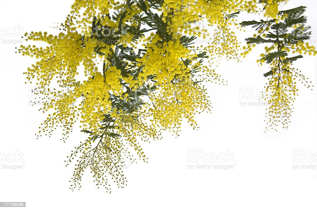 Mimosa in bianco stock photo