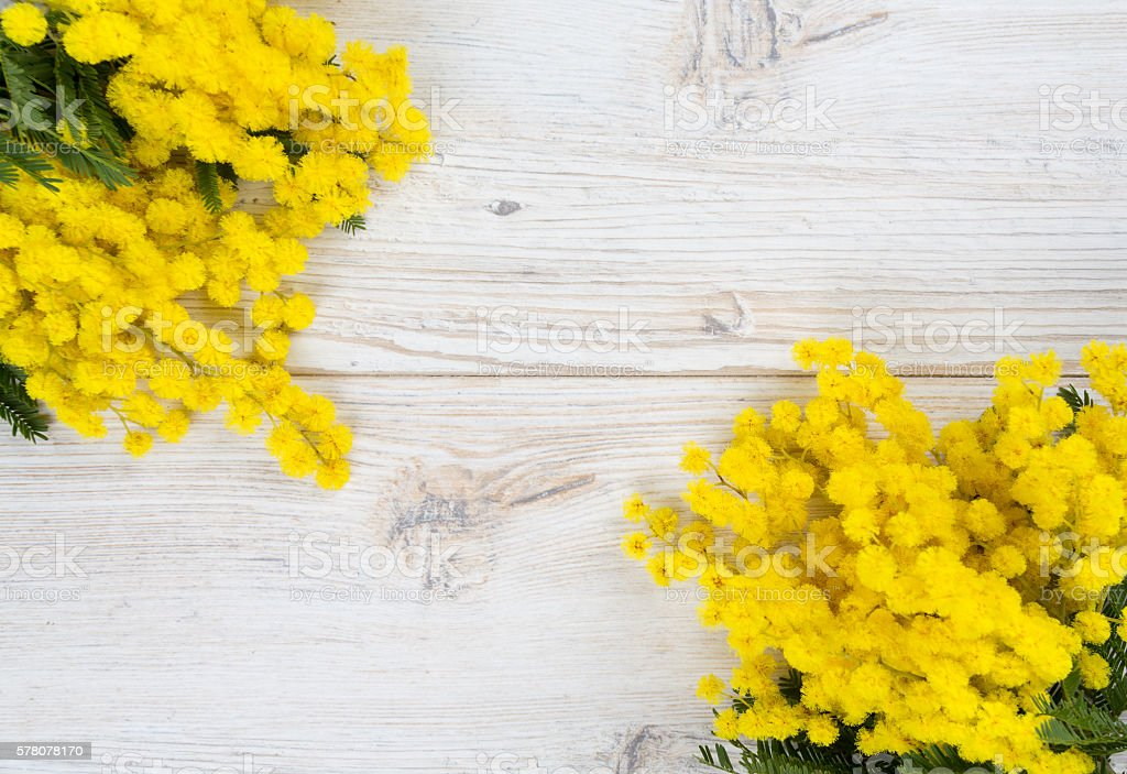 mimosa on white wooden background stock photo