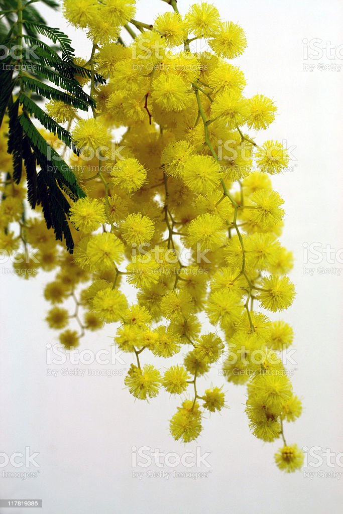 Mimosa royalty-free stock photo