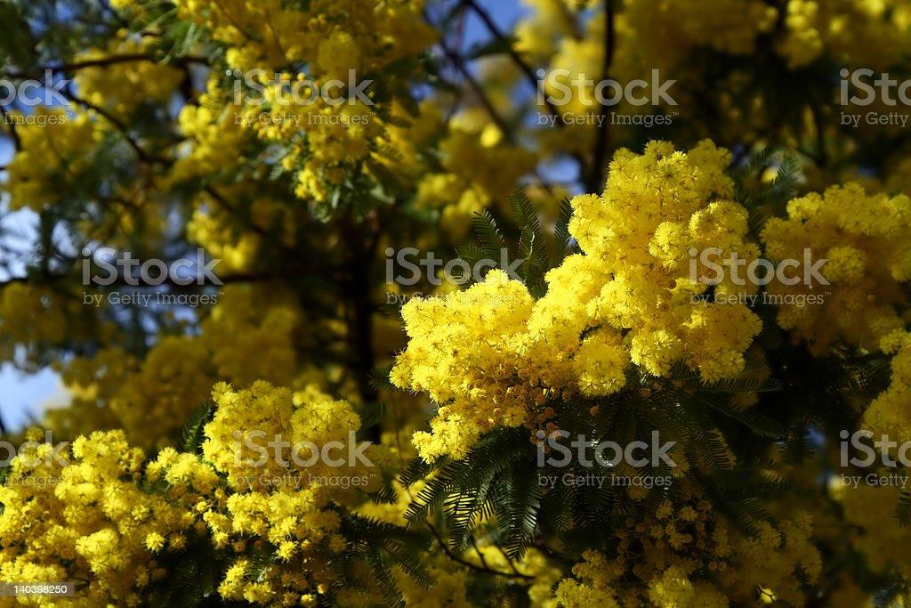 mimosa royalty-free stock photo