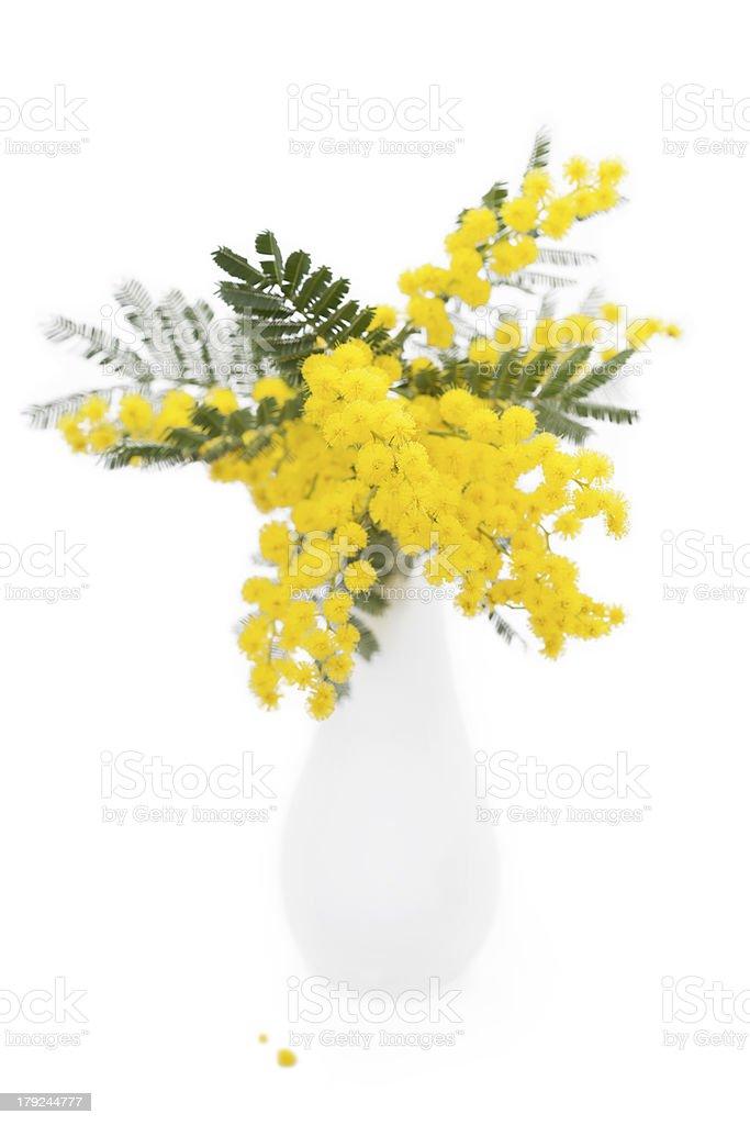 Mimosa foto royalty-free