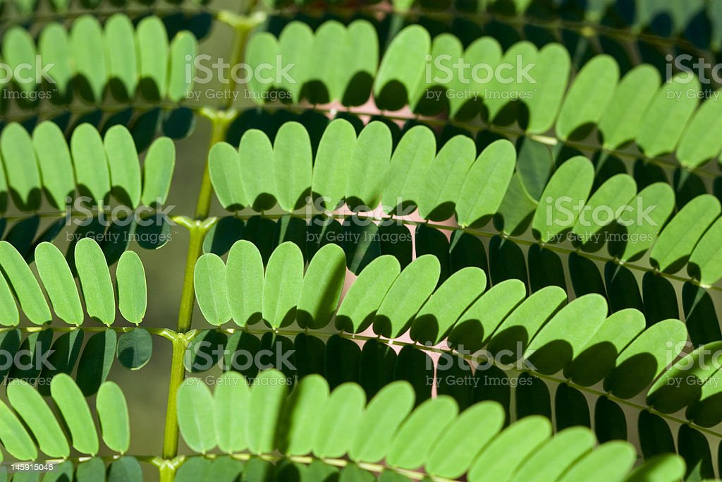 Mimosa pudica (Sensitive Plant) a.k.a. green trend stock photo