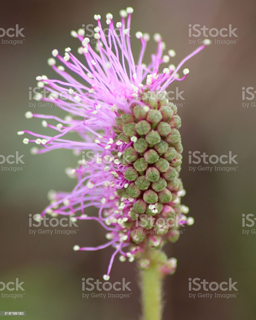 Mimosa pudica flower opening stock photo