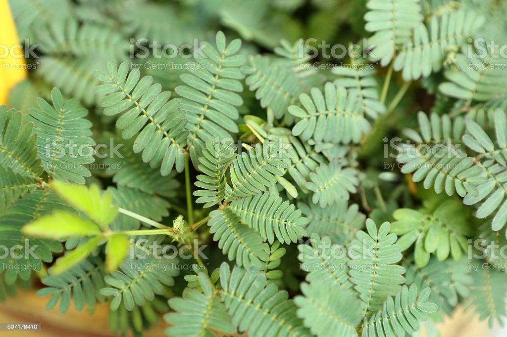 Mimosa Pudica L stock photo