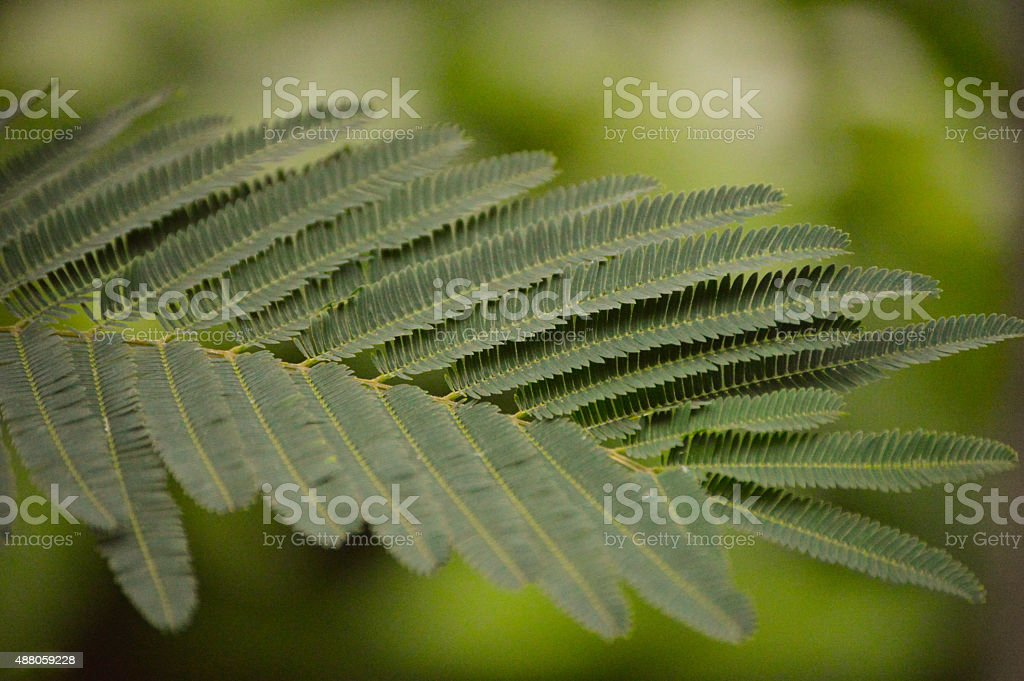 Mimosa pudica (Sensitive plant) stock photo
