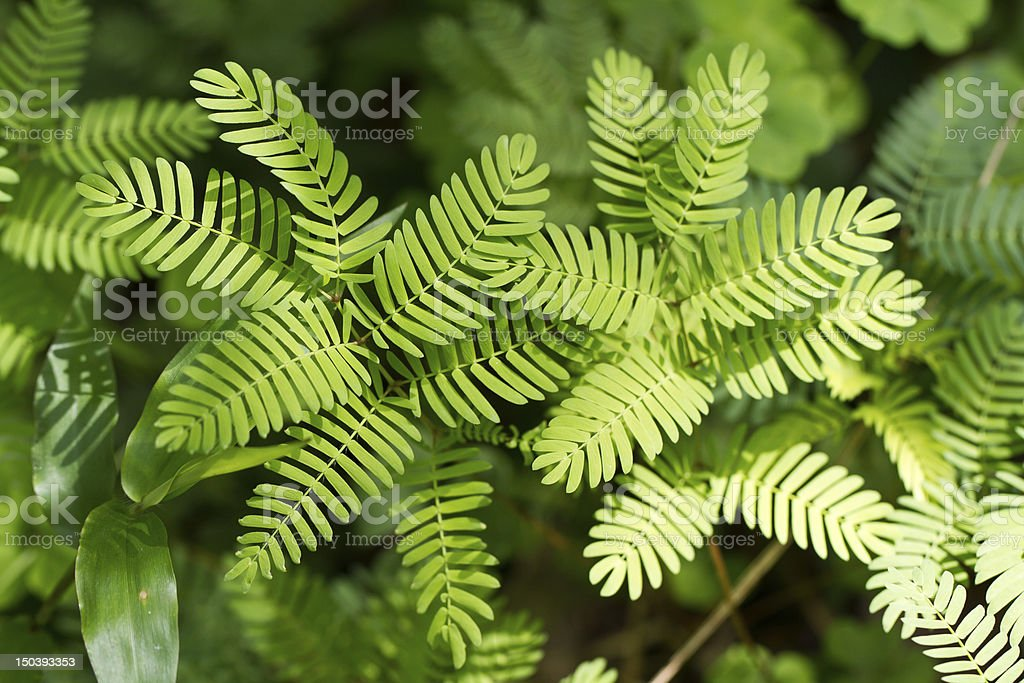 Mimosa pudica plant stock photo