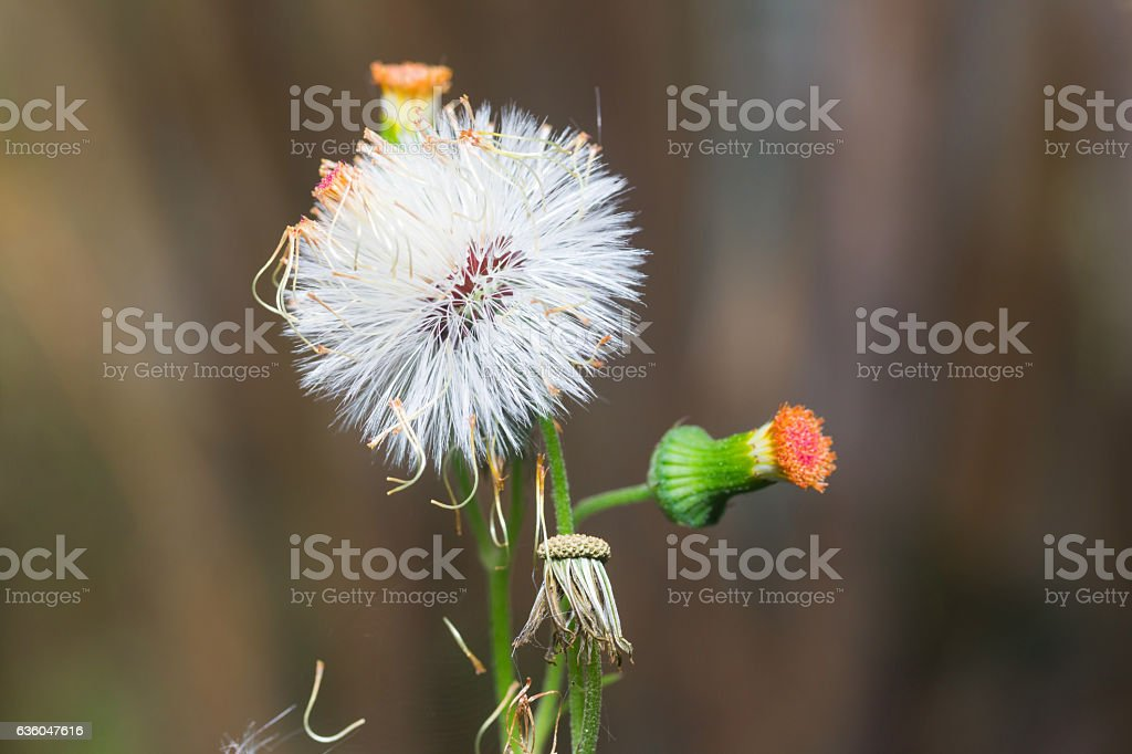 mimosa pudica plant stock photo