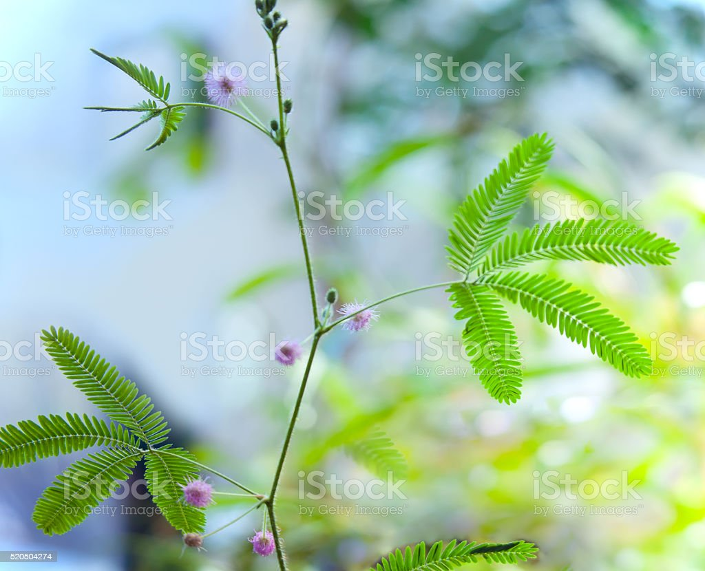 Mimosa pudica with pink flowers stock photo