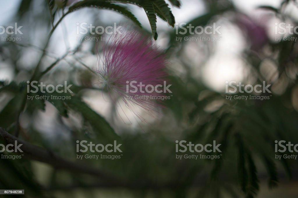 Mimosa Tree Blossoms stock photo