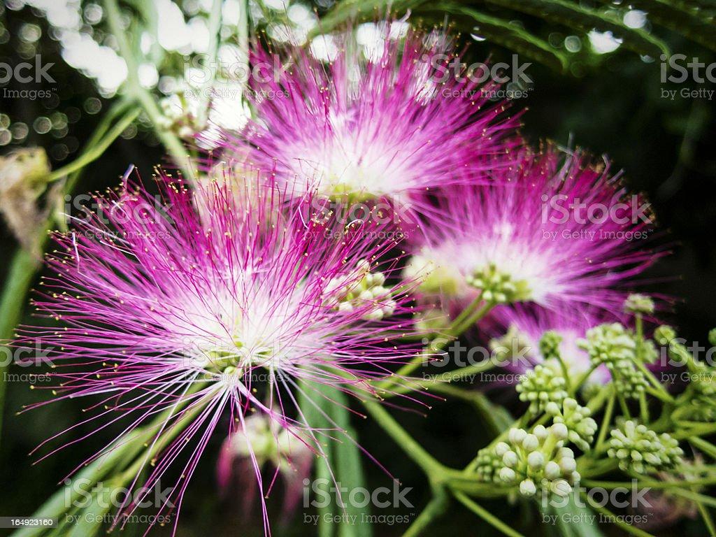 Mimosa Tree stock photo