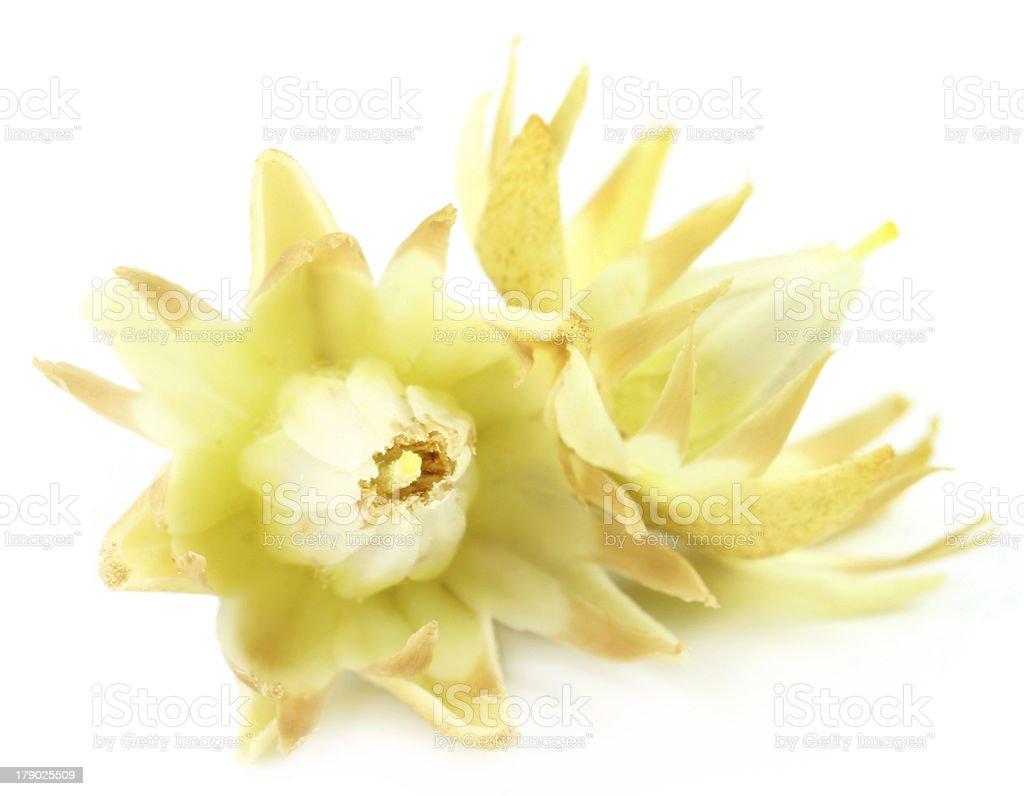 Mimusops elengi or Bokul flower royalty-free stock photo