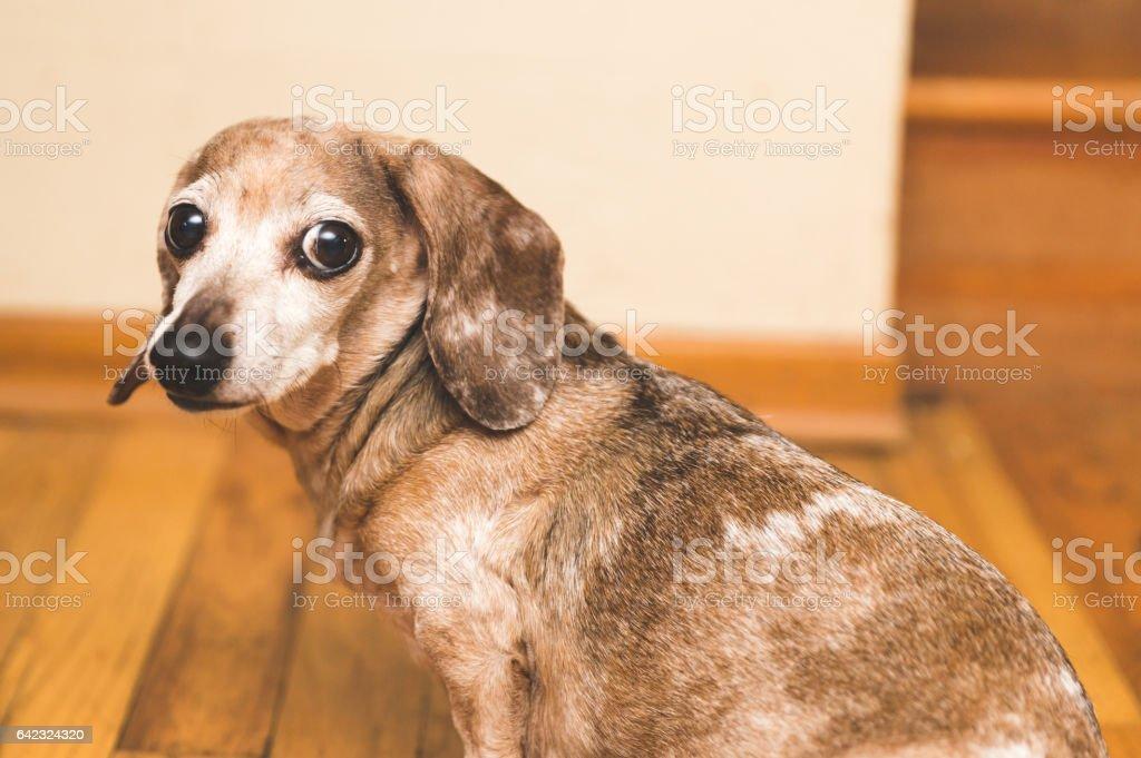Mina the old weiner dog stock photo