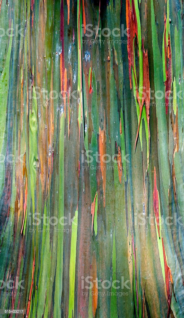 Mindanao gum tree shedding outer bark to reveal green wood stock photo