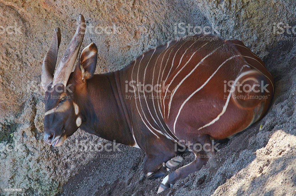 Mindoro dwarf buffalo (Bubalus mindorensis) is resting in a shad stock photo