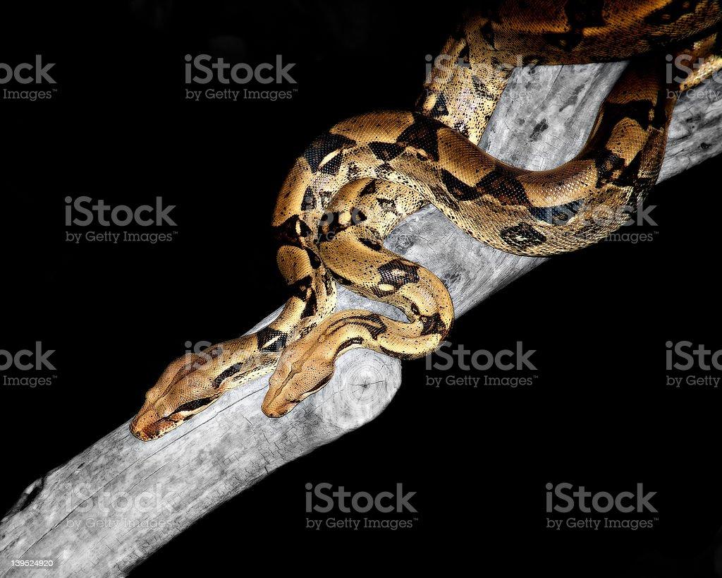 mingling pythons royalty-free stock photo