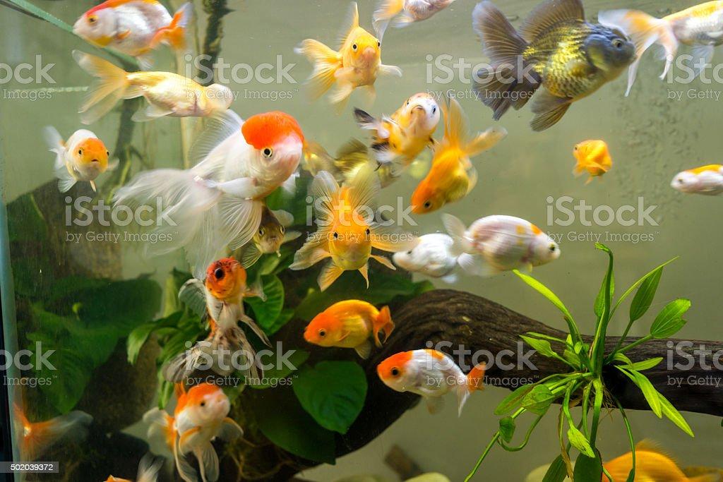 Mini aquarium with a lot of colorful goldfishes inside stock photo