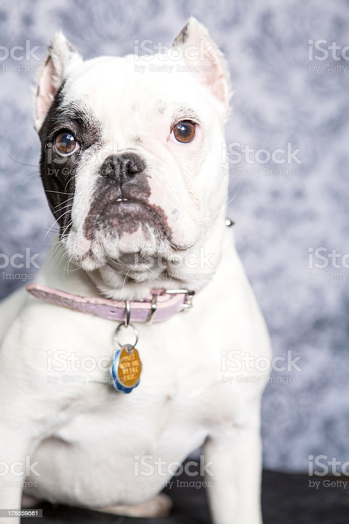 mini Bulldog royalty-free stock photo