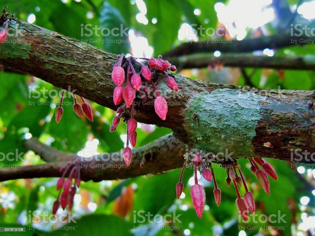 Mini Cacao pods stock photo