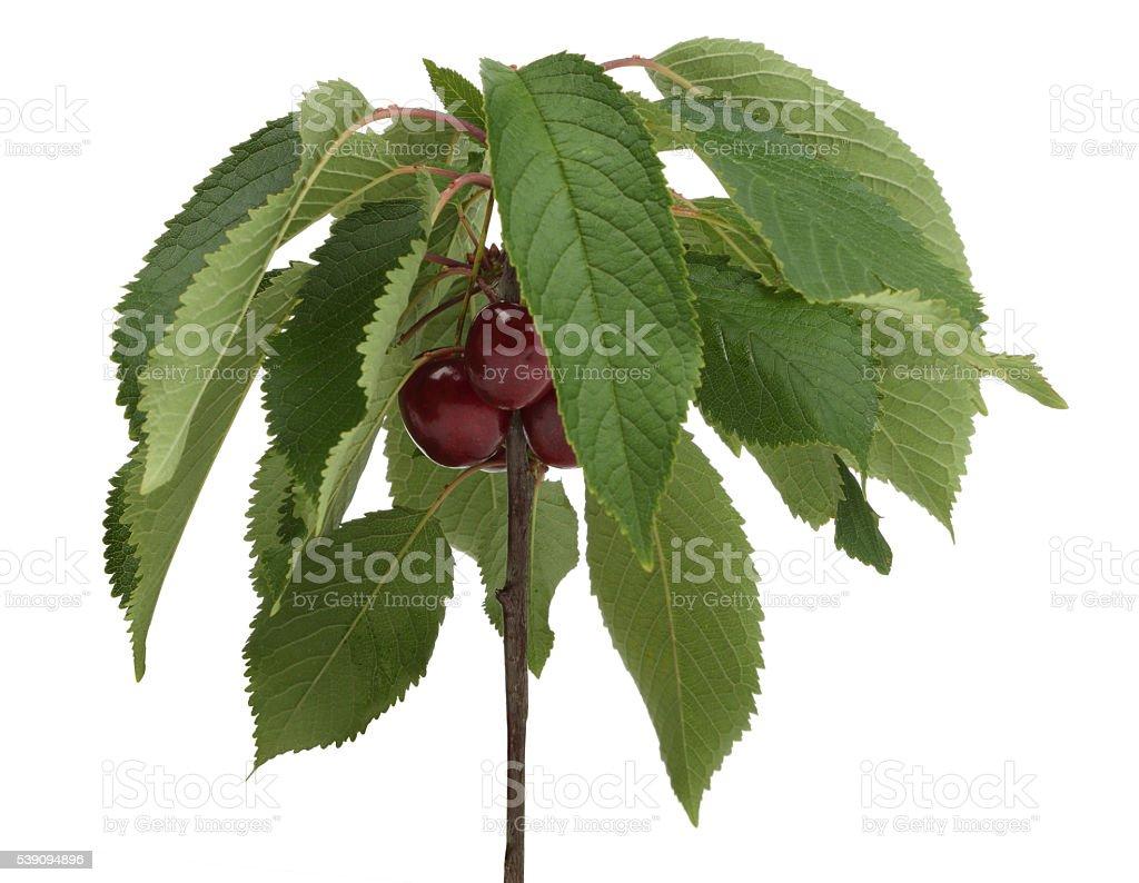 Mini Cherry Tree stock photo