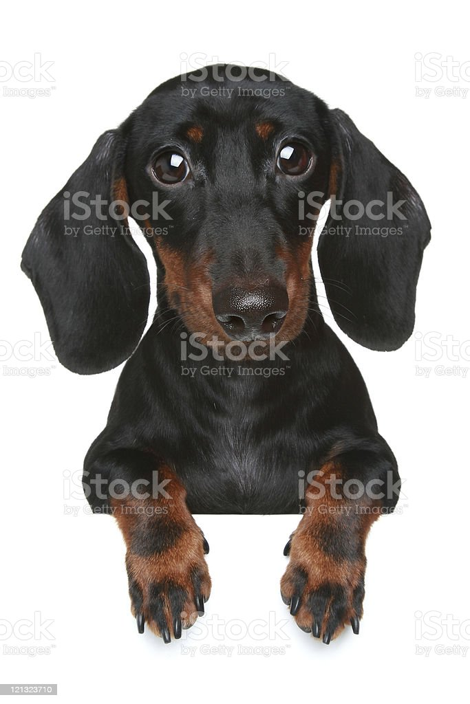 Mini dachshund. Close-up portrait stock photo