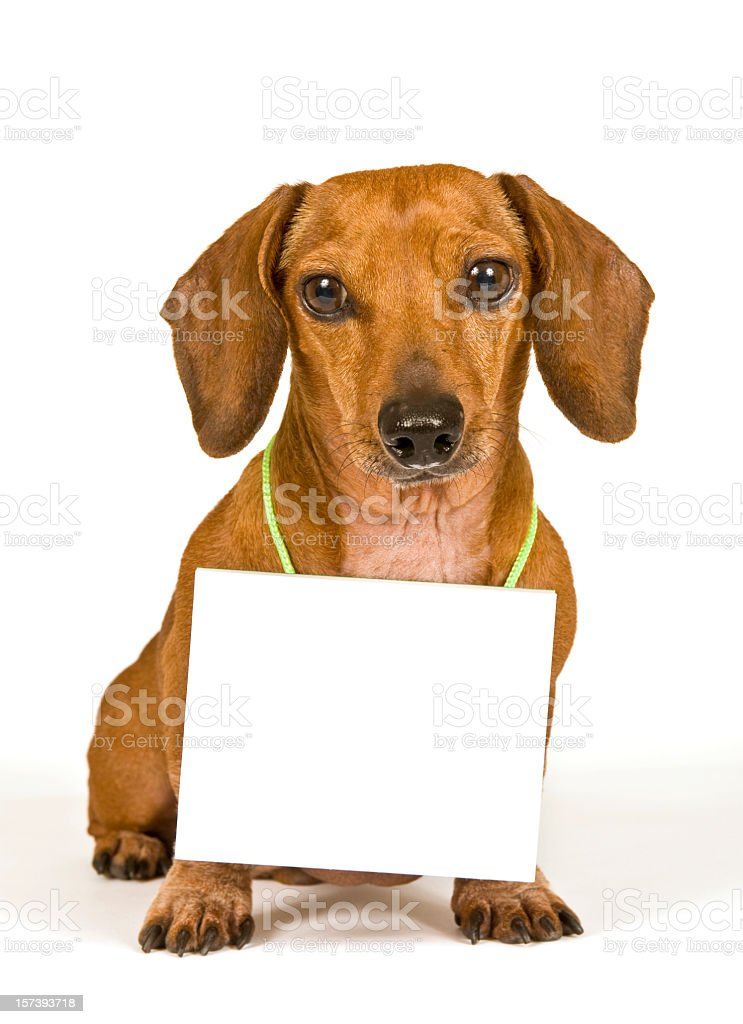 Mini Dachshund With Blank Sign and Shadow stock photo