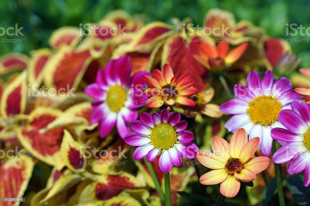Mini dahlia and coleus stock photo