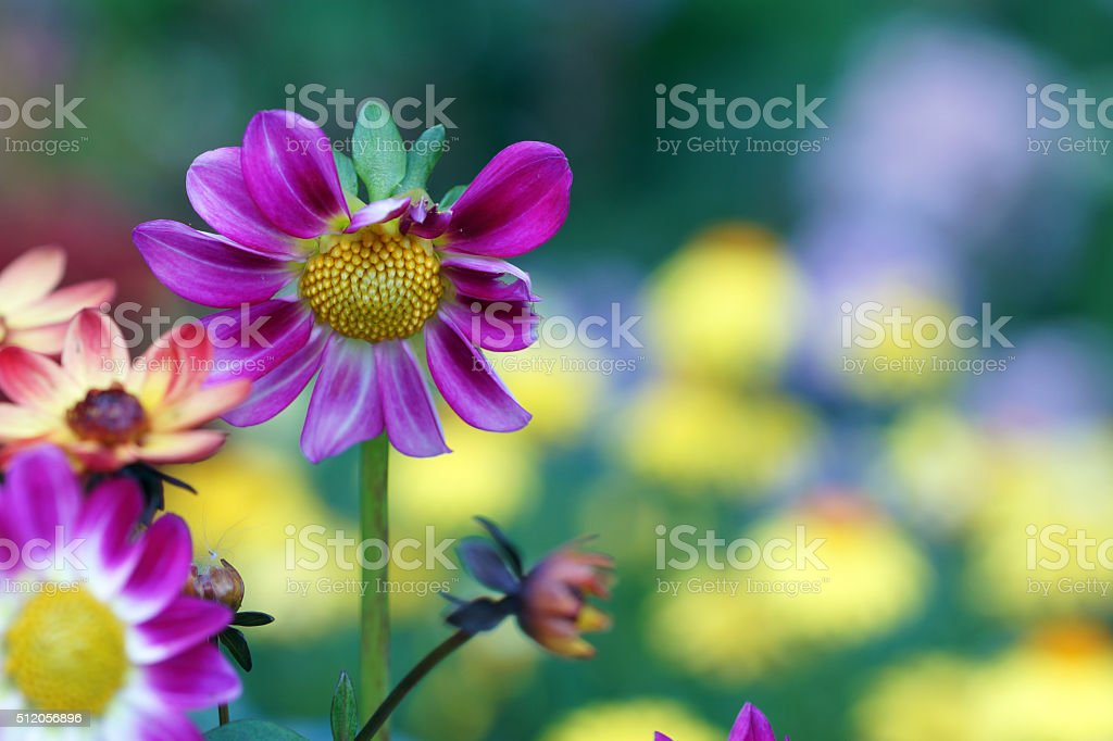Mini dahlia stock photo