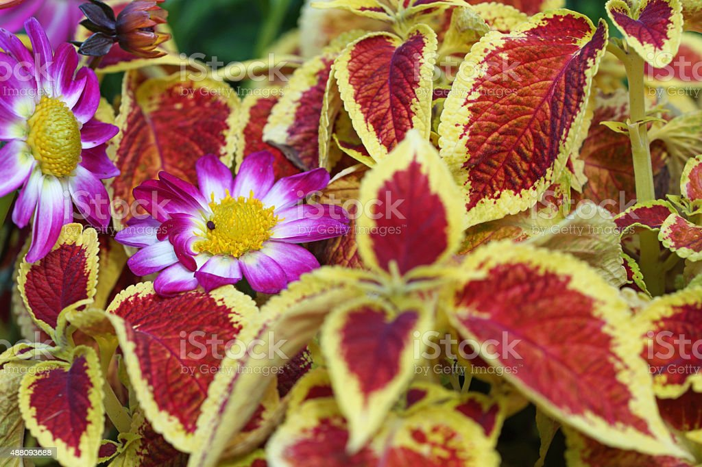 Mini dahlias and coleus stock photo