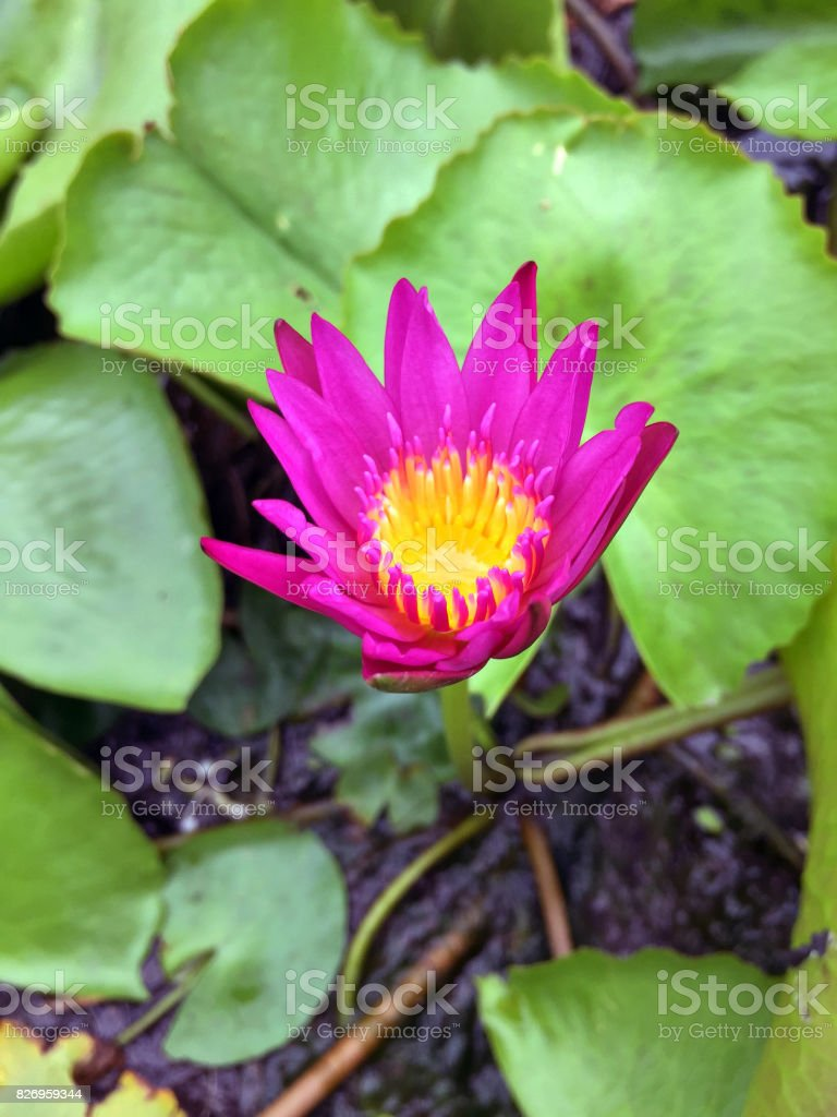 Mini Deep Pink Nymphaea lotus and green leaf in the pot. stock photo