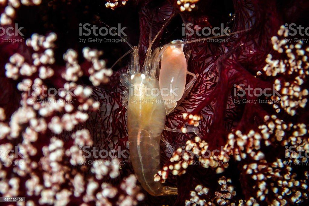 Mini Lobster stock photo