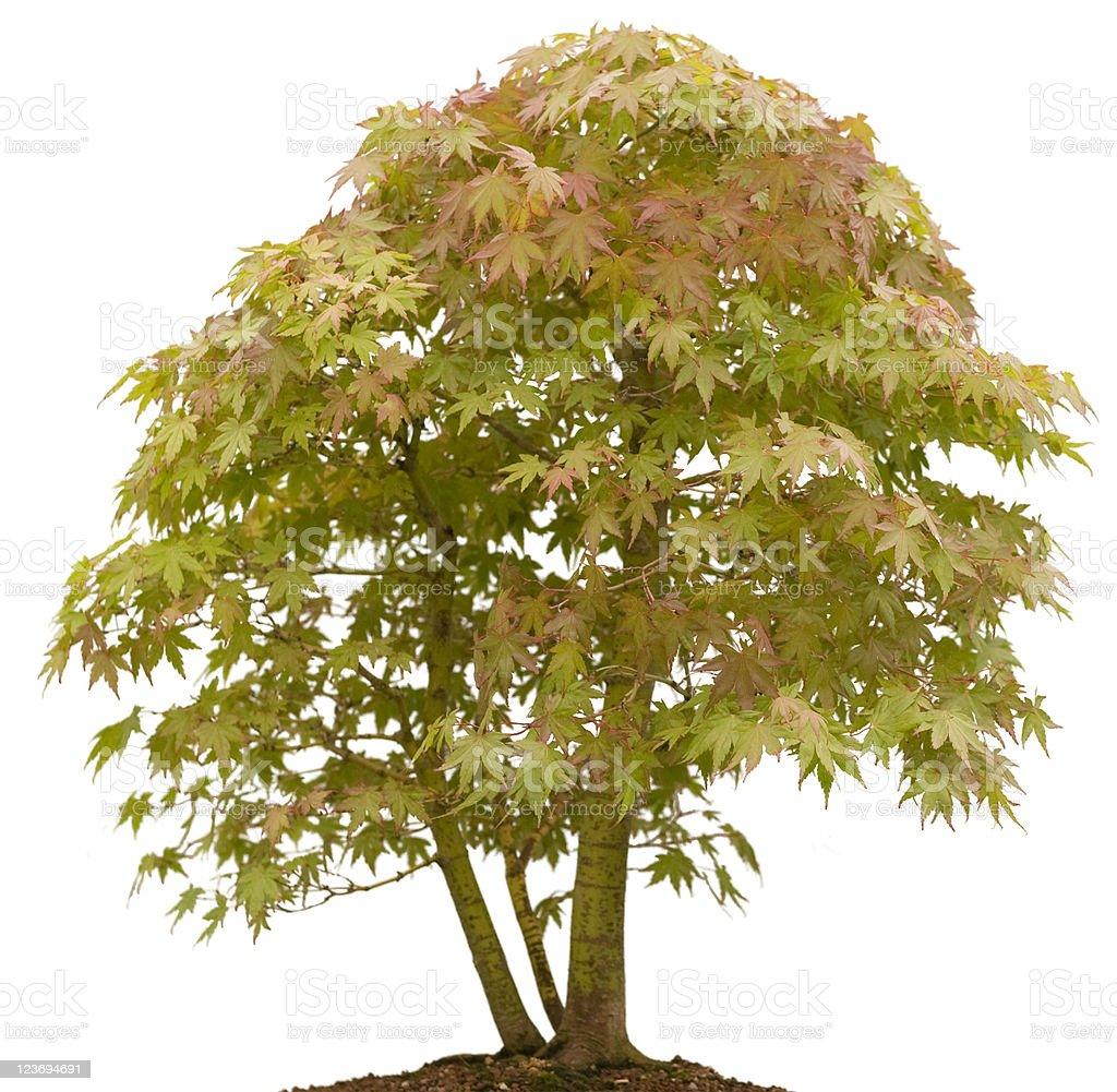 Mini Mountain Maple royalty-free stock photo
