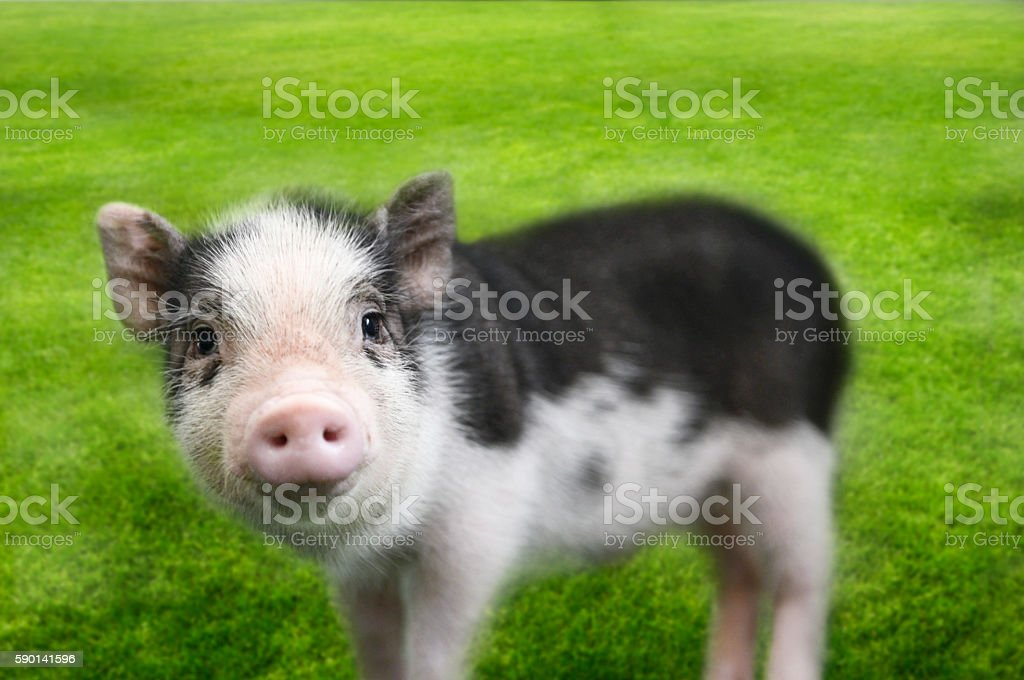Mini pig on grass background stock photo