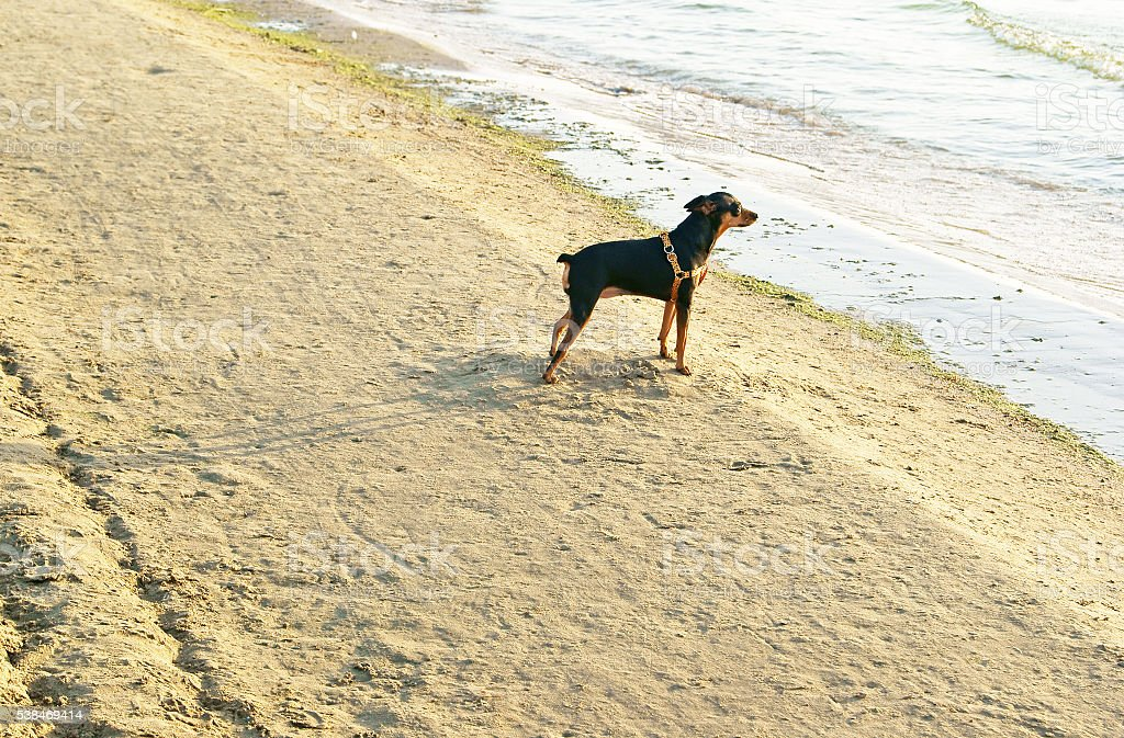 Mini Pincher or King of the Toys on the beach stock photo