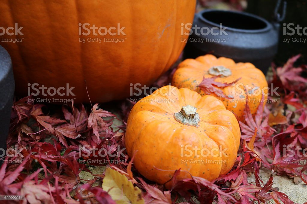 Mini pumpkins in read leaves around large pumpkin stock photo