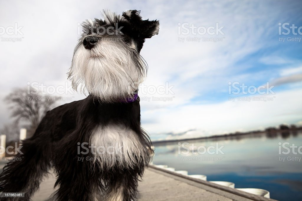 Mini Schnauzer Puppy Standing Tall stock photo
