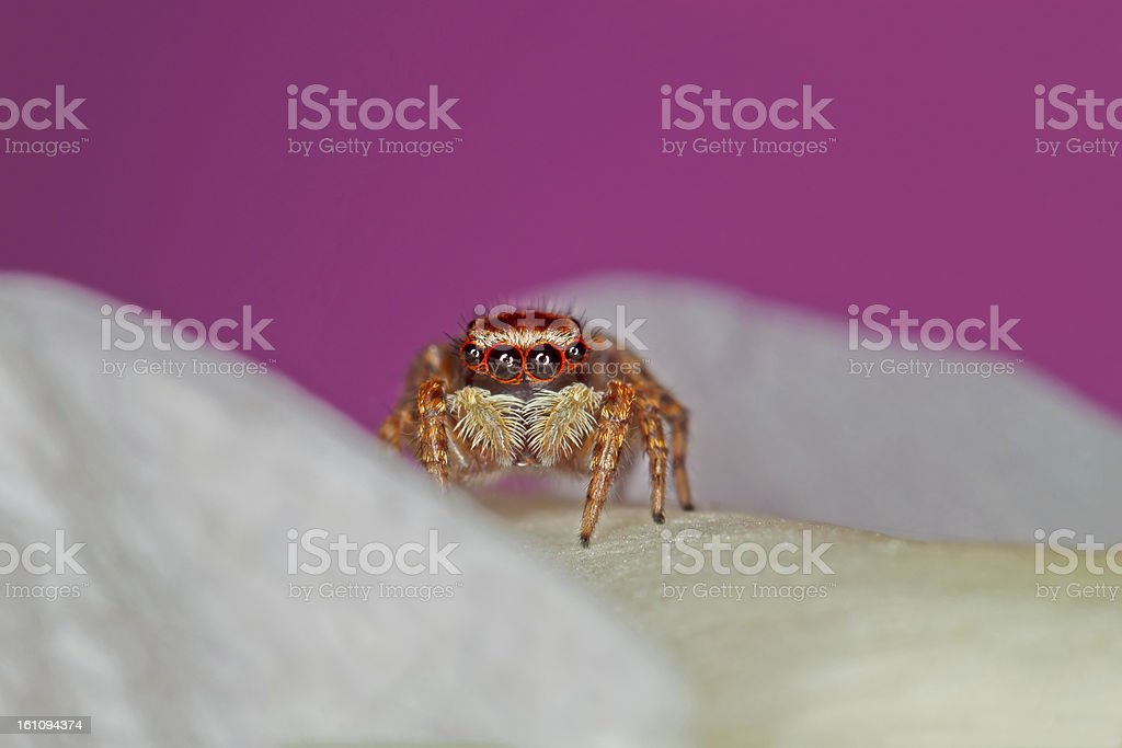Mini Spider royalty-free stock photo