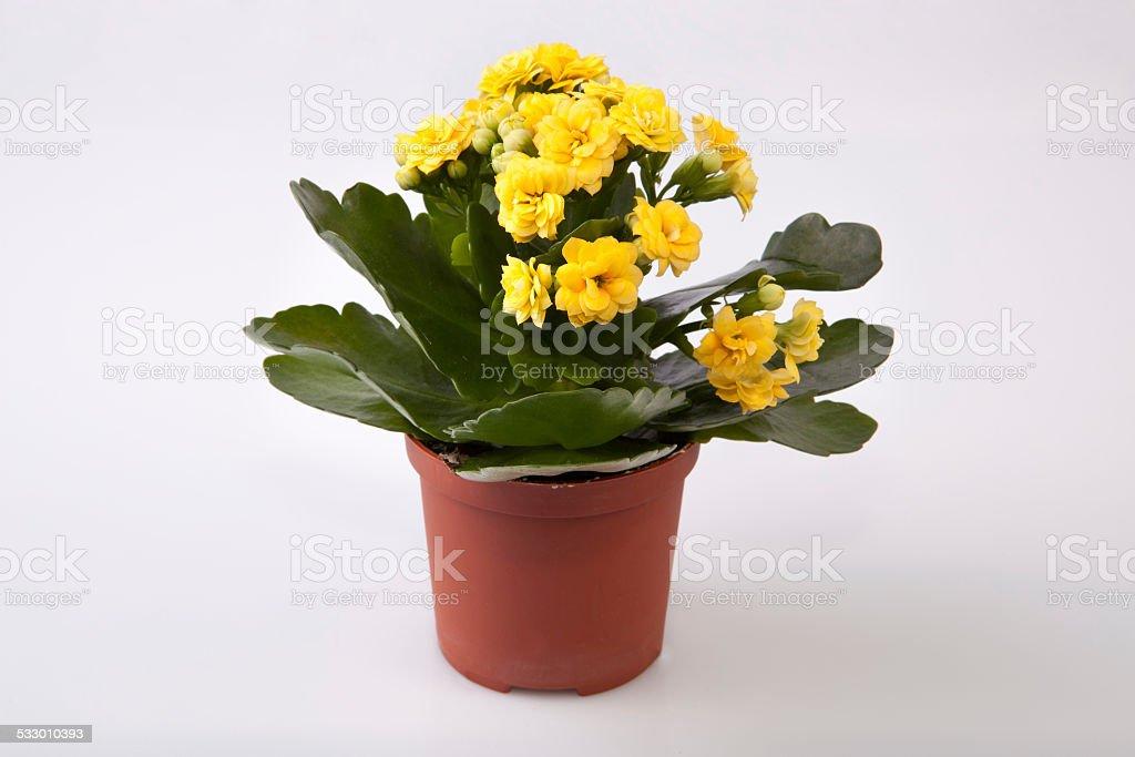 Mini yellow kalanchoe stock photo