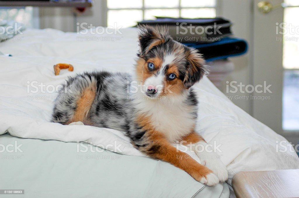 Miniature Australian Shepherd lounging on the bed stock photo