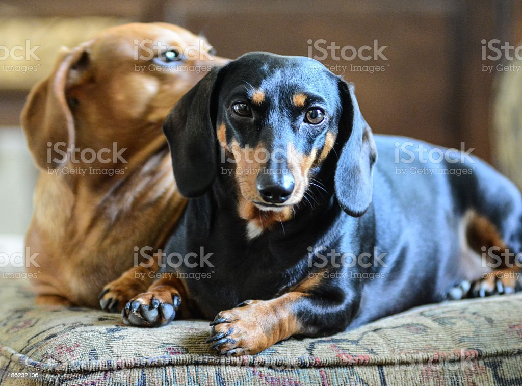 Miniature Black and Tan Dachshund stock photo