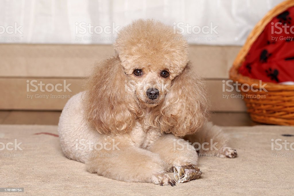 Miniature brown poodle resting royalty-free stock photo