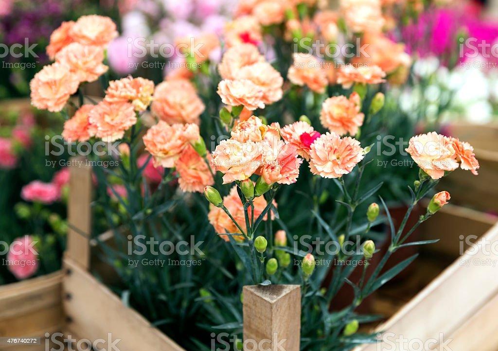 miniature carnations stock photo