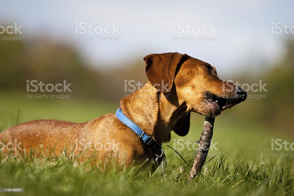 Miniature Dachshund chewing on stick royalty-free stock photo
