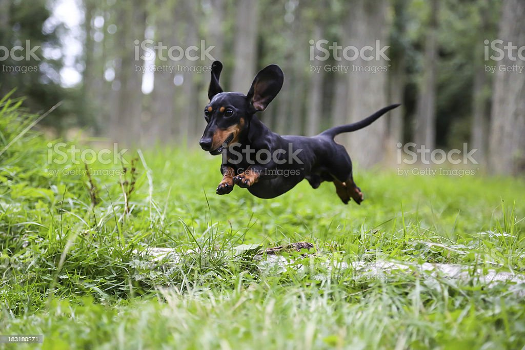 Miniature Dachshund jumping over a log. stock photo