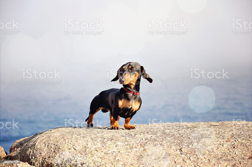 Miniature Dachshund, purebred dog, stock photo