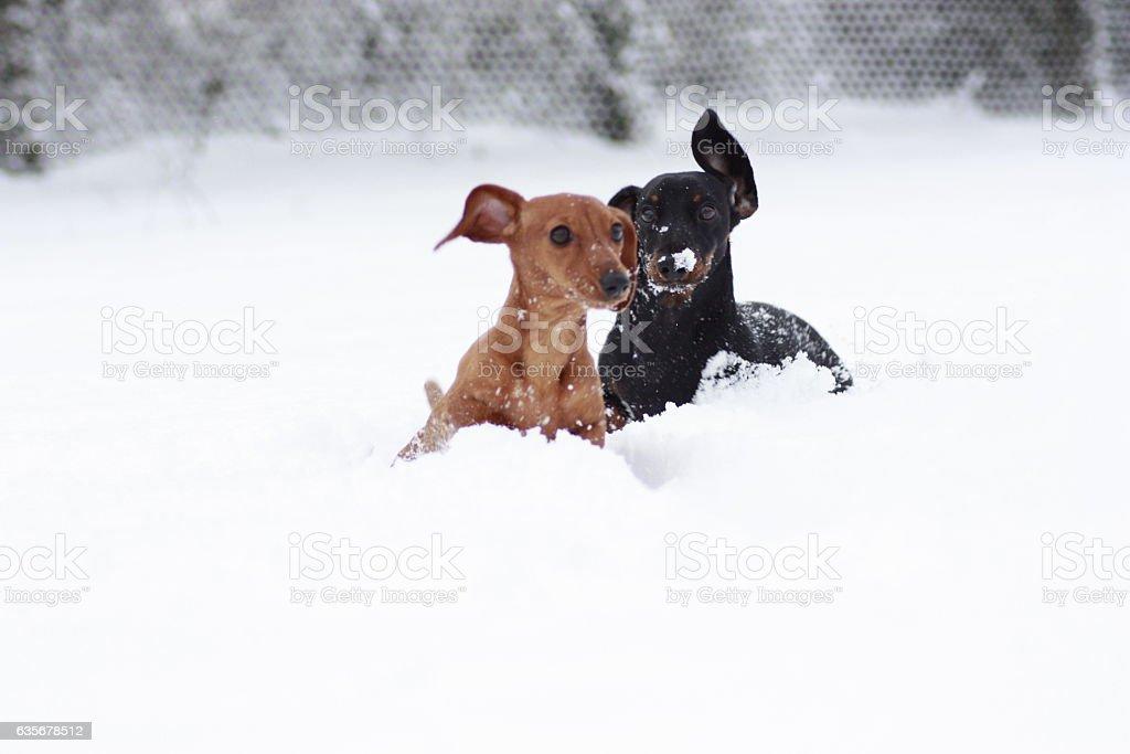 Miniature Dachshund Snowtime ! stock photo