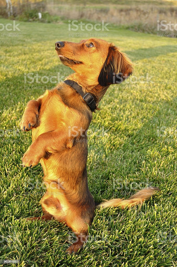 Miniature Dachshund Standing Up Begging stock photo