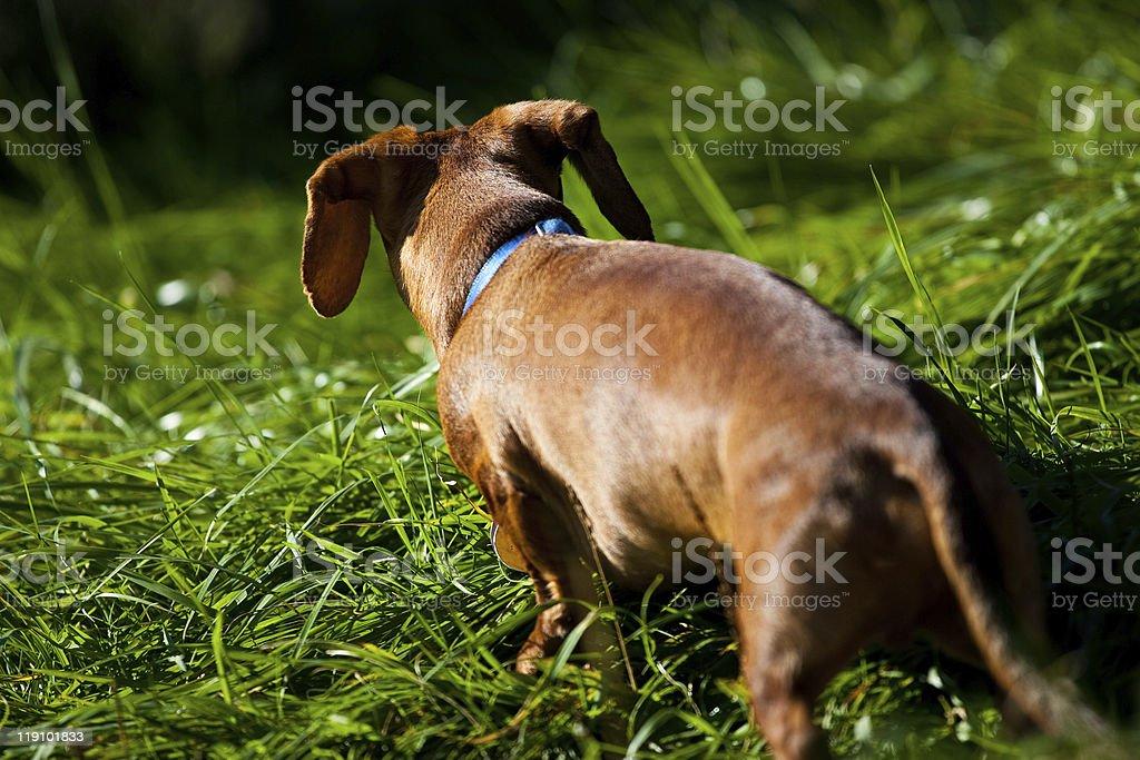 Miniature Dachshund walking away in tall grass royalty-free stock photo